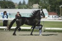 Gliding around the show ring, this Middlebrook Friesian showcases the goals of the Deboer family, which is staying true to the magnificent heritage of the breed and breeding sport horses geared to meet the needs of the family or owner.