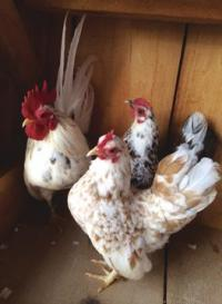 Flashy the Rooster, Cookie the Chicken and some of their friends wait to show you what Serama Chickens are all about.