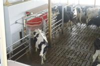 Cows visit milking robot, they're in, milked automatically and out.
